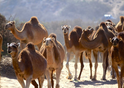 12_week_instructor_course_immessouane_trip_camel_herd